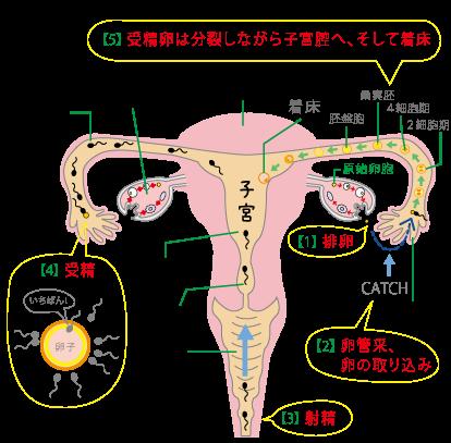 川越市鶴ヶ島市の漢方薬局坂重薬局妊娠の仕組み